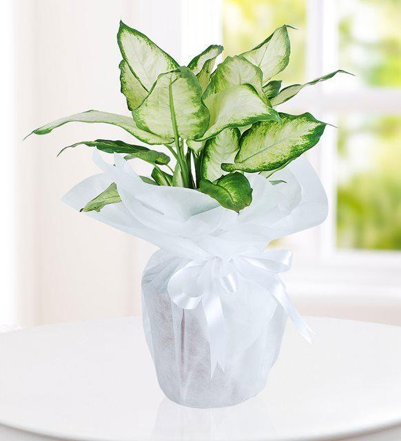 ev-ve-ofis-ortaminda-bakmak-icin-ideal-bitki-dieffenbachia-at130-1-3