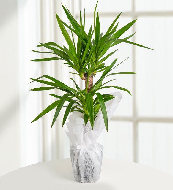 yucca-tropik-guzel-bt113-1-5